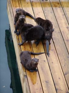 Otters are daily visitors to the property and think they own the place!
