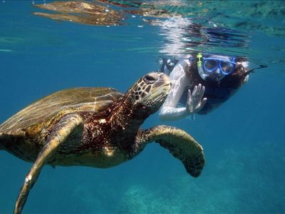 Green Sea Turtle or Honu in Hawaiian ~ explore Maui's underwater world.