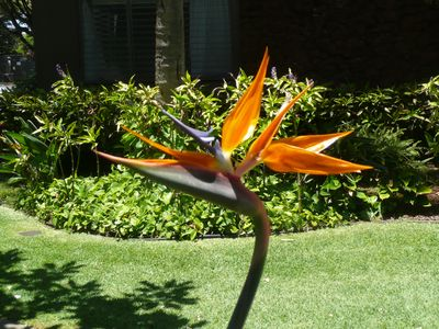 Just outside the office at Mahina Surf, a lovely Bird of Paradise.