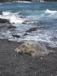 Honu Turtle relaxing at Black Sand Beach