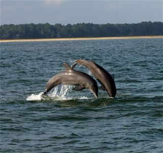 Dolphins frolicking in the May River