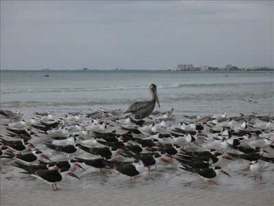 The pelicans, terns and skimmers seem to be friends