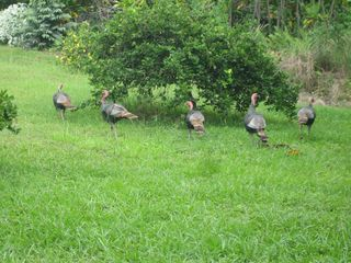 Kailua Kona house photo - Wild turkeys roam in the field every day.