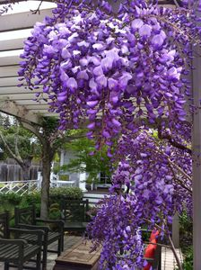 Purple wisteria in the Spring on the pergola.