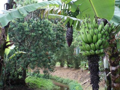 Hawi cottage rental - Apple Bananas at Nani Hua Gardens