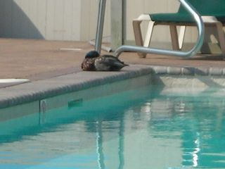 Brigantine condo photo - Wildlife by the pool.