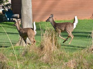 Saugatuck / Douglas house photo - Frequent Travelers through our Yard