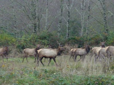 Resident Elk herd just blocks from house.