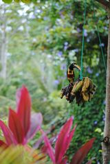 Cabo Matapalo house photo - Aracari enjoying some bananas!