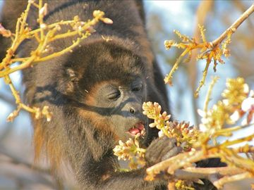 Howler Monkey Eating Fruit From Trees