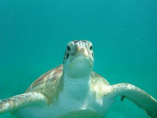 Culebra cottage photo - This Turtle is call Tina...in our tours you can swim with her...