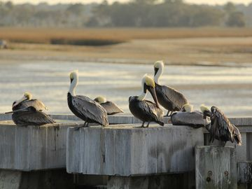 Pelicans at Harbourtown