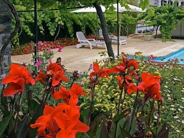 Cana lilies beside pool