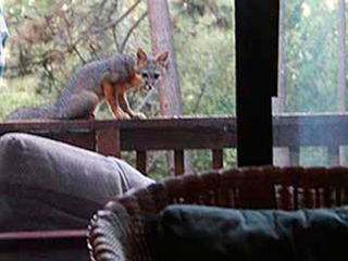 Mariposa chalet photo - 6:30 am - Sometimes, early risers get to see a fox cub. Sometimes.