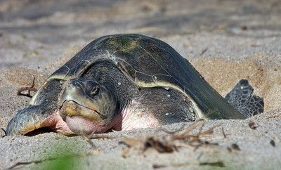 Watch the turtles at the refuge in Ostional