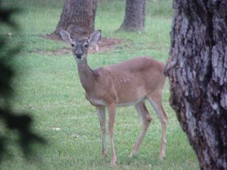 Boerne house photo - Feeding our deer is one of our guests favorite things to do!