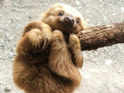 A baby sloth seen in our tropical garden.