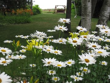 Daisies outside LPM picture window