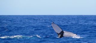 Kohala Ranch house photo - Whale watching off the coast. Take a tour from the harbor less than 10 min away