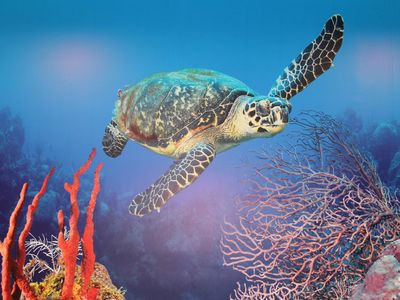 1503 Columbus named the Cayman Islands Las Tortugas because of all the Turtles