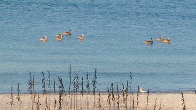 Pelicans near shore