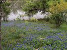 Bluebonnets on the cove
