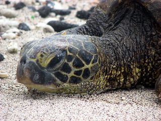 Kailua Kona condo photo - Close up of turtle on beach, Kona