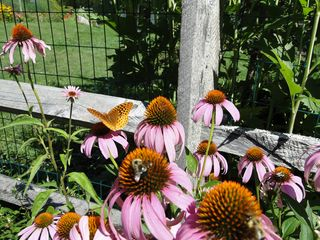Ascutney farmhouse photo - Summer garden with butterfly and bees
