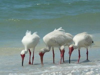 White Ibis on the Beach 3D1