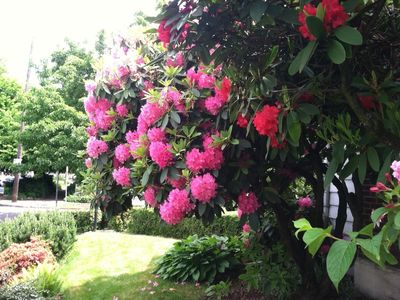 Smell the intoxicating aroma of Rhododendrons on the property
