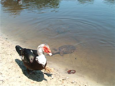 Bradenton villa rental - Duck and Turtles in the lake