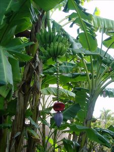 Bananas growing in the complex