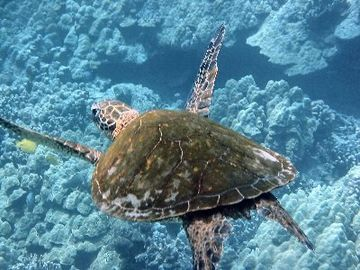 Flying Turtle near Kahalu'u Beach Park only minutes from Property
