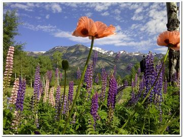 Spring is a beautiful time in the Tetons! Poppies & lupine are abundant.