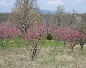 Charlottesville house photo - Apple trees on property