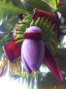 Bananas growing on property