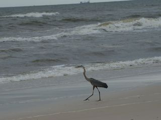 Gulf Shores cottage photo - Blue Heron