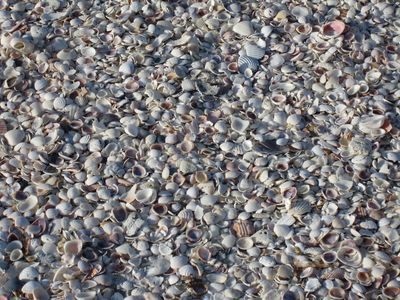 Shells, Shells...our beach as lots of shells!