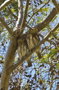 We spotted 2 Pygmy owls in tree as we were hanging out in the pool
