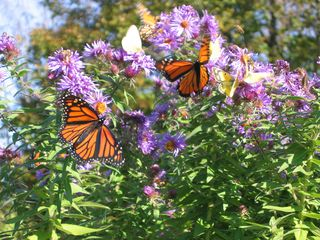 Montpelier house photo - Gardens: October 2011 Monarchs and New England Aster