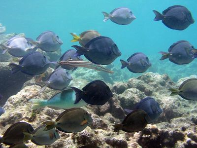 Blue Tangs with Pipefish - Half Moon Bay Akumal - excellent snorkeling just steps from your condo - Photo by Chris F