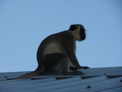 One of the local 'Green Monkeys'