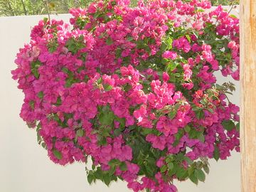 beautiful bougenvilla