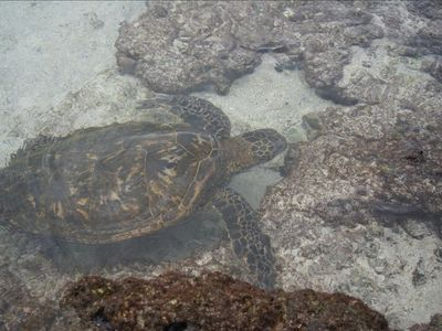 Kailua Kona condo rental - A Rare Green Turtle in Kahalu'u Bay Right Down the Street.