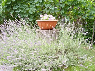 Todi house rental - An explosion of lavender in the garden....
