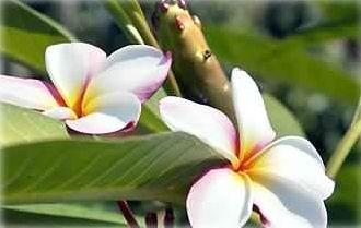 Plumeria and so many other tropical flowers just outside your door!