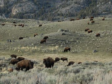 Bison herd in Yellowstone National Park