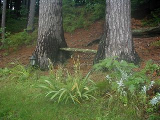 "Mousam Lake cottage photo - This oak board, was wedged tween these trees behind ""The Dancehall&a..."