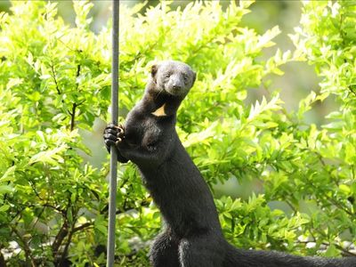 "This is a ""Tayra"", a local visitor at Casa Gavilan!"