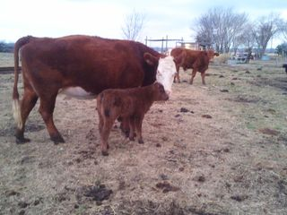 Austin farmhouse photo - Cow, named Gimpy with her heifer calf named Arla